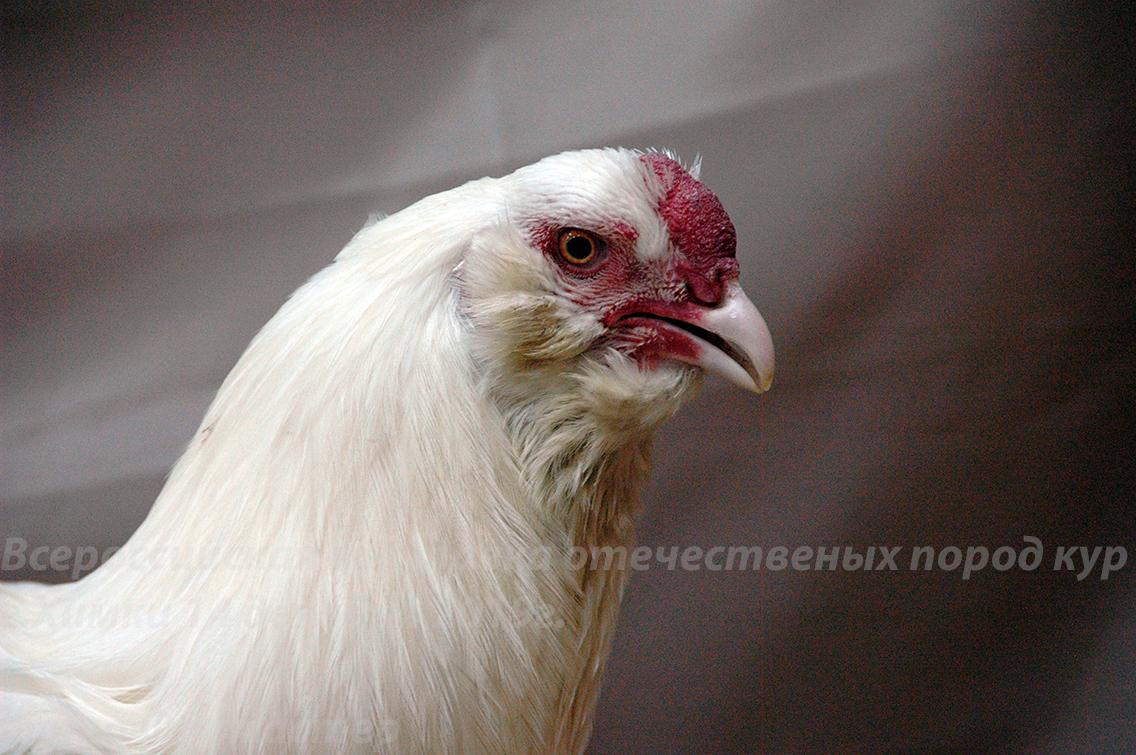 Полтавская - мясо-яичная порода кур: характеристики, правила кормления и содержания, разведение, инкубация