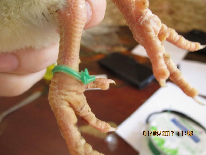 Как пометить кур меточными кольцами в домашних условиях