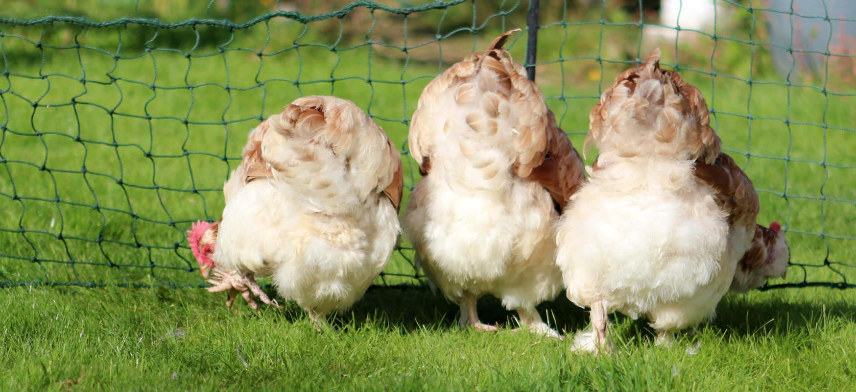 Фавероль - мясо-яичная порода кур. Описание, содержание и выращивание, правила инкубации