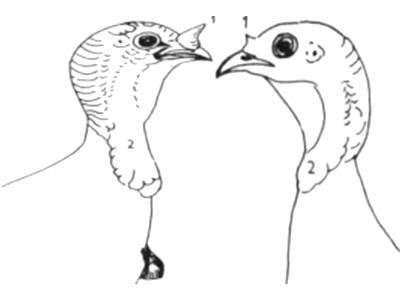 Как отличить индюка от индюшки