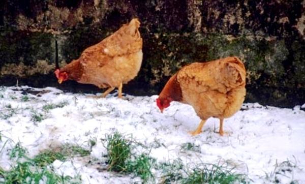 Правила содержания кур в зимний период