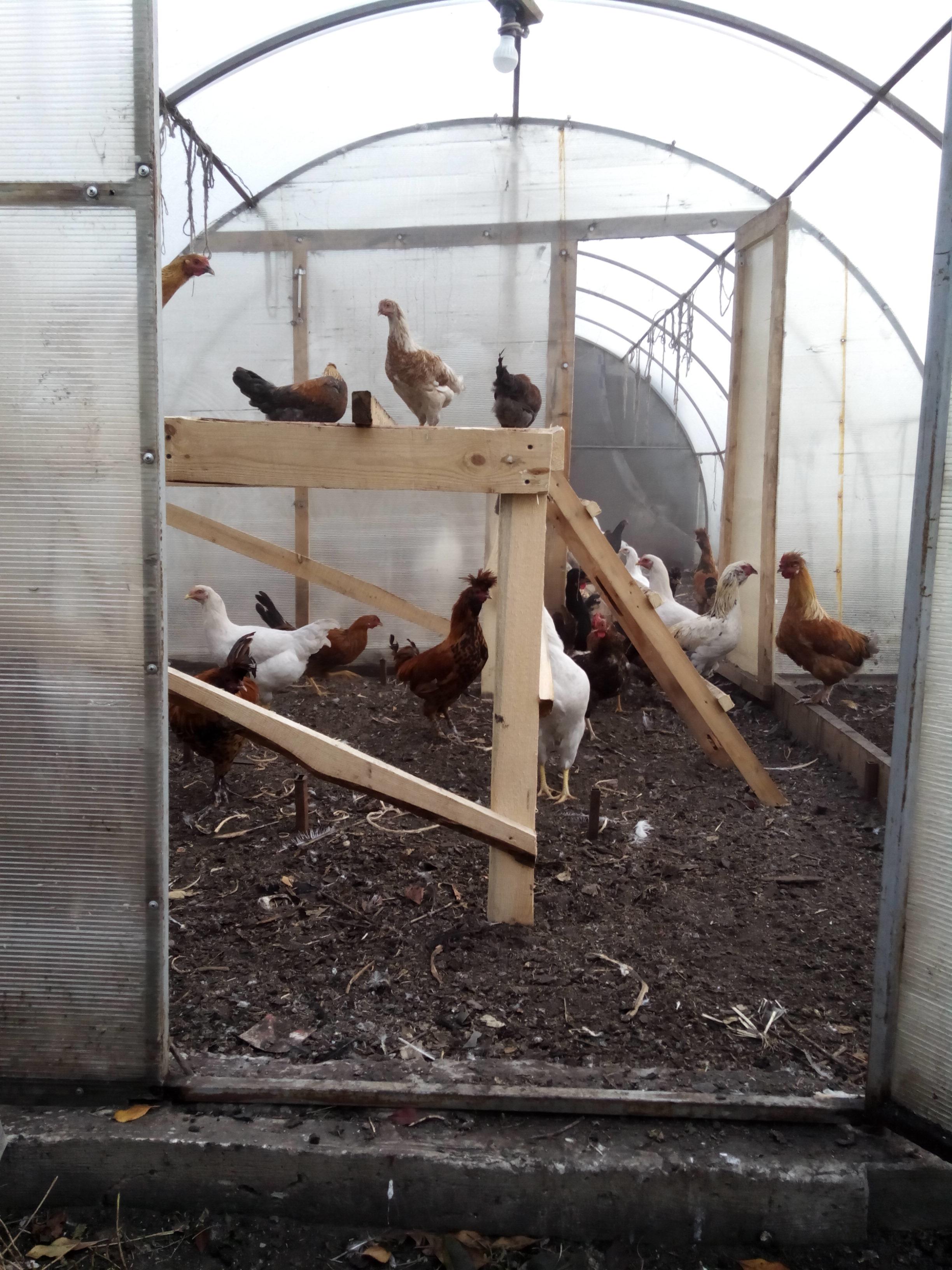Условия содержания куриц зимой и летом, что правильно?