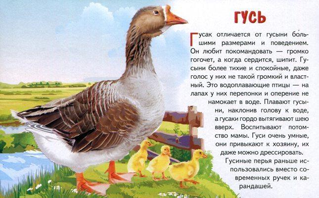 Как отличить гусынь от гусаков у маленьких гусят в раннем возрасте