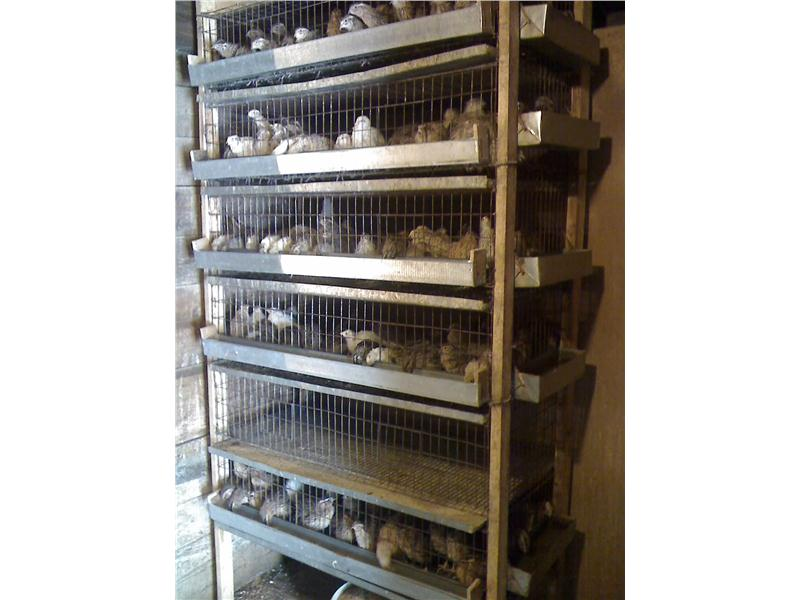 Яичные породы перепелов – описание особо выдающихся
