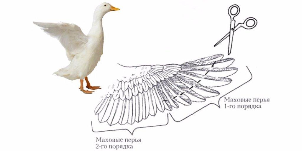 Как подрезать крылья курам, чтобы не летали