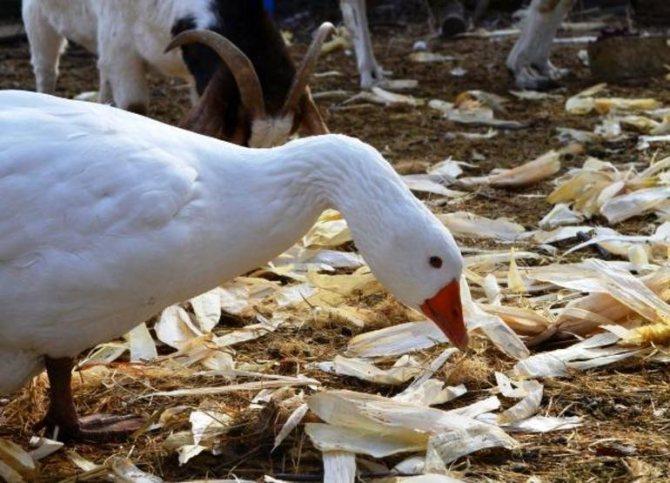 Как правильно кормить гусей