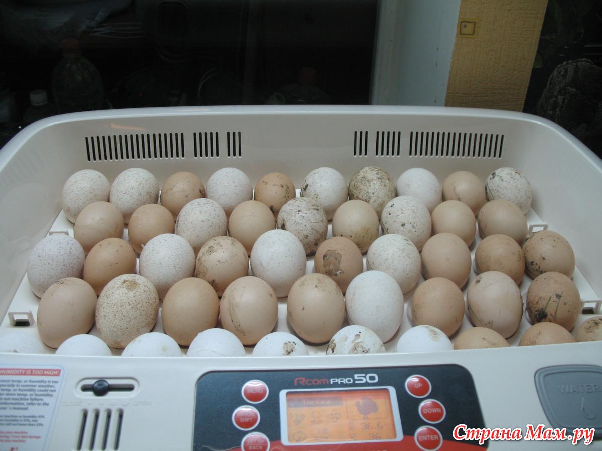 Естественная инкубация индюшиных яиц