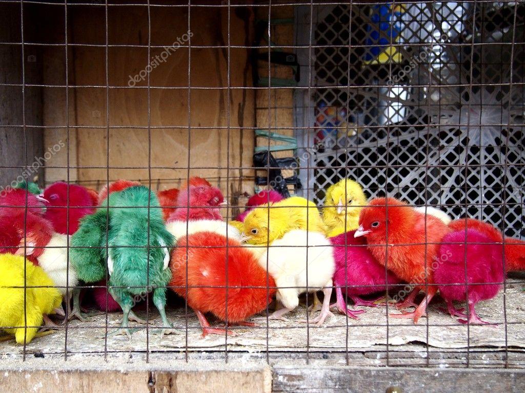 Цветные цыплята – фото и видео, как покрасить цыпленка правильно
