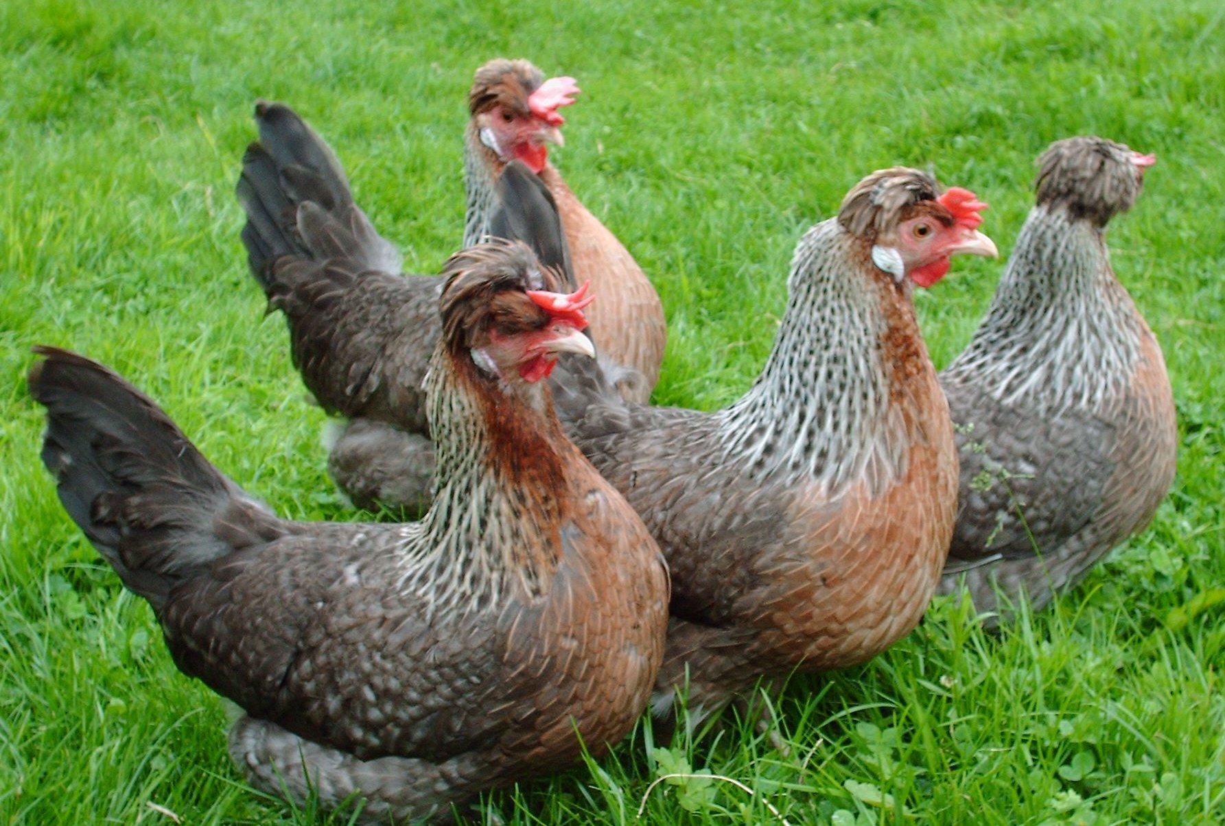Легбар порода кур – описание, фото и видео